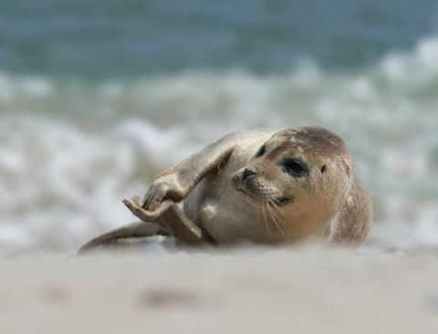 Baby seal clapping