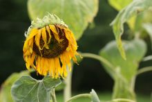A withered sunflower