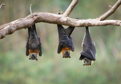 Three bats hanging upside down