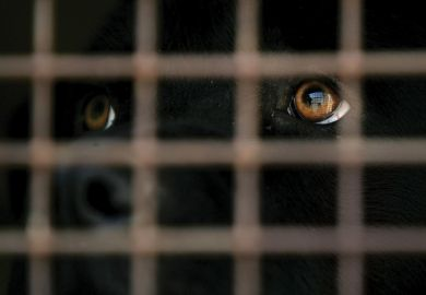 Black labrador dog looking out of cage