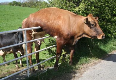Cow stuck on gate