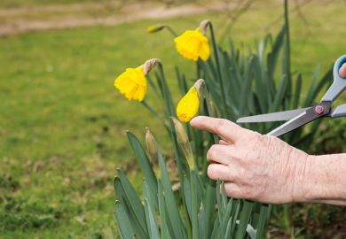 Cutting daffodils back