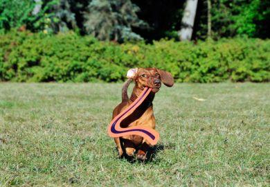 Dog returns boomerang