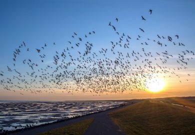 Flock of flying birds migrating