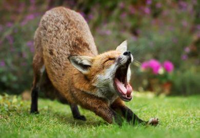 A fox yawning