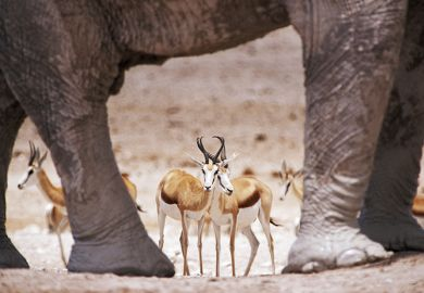 Gazelles standing among elephants
