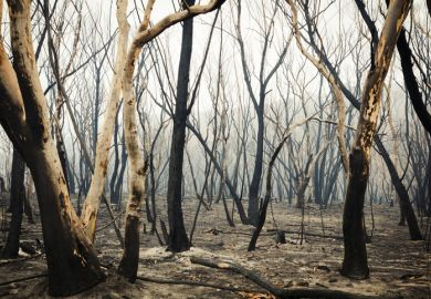 Gum trees burnt by bushfire