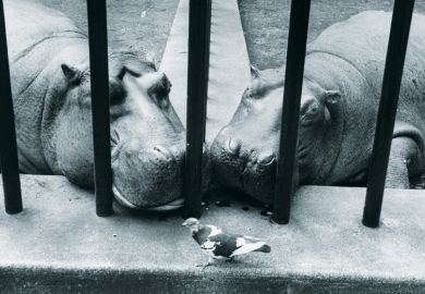 Two hippos in zoo looking at pigeon