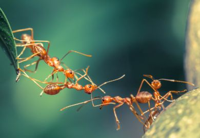 Ants working together to make a bridge