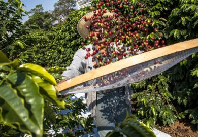 harvesting coffee Brazil