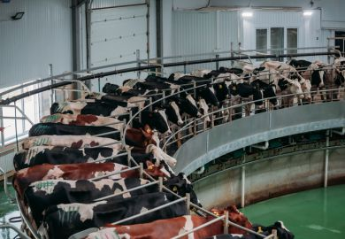 Milking cows by automatic industrial milking rotary system in modern diary farm
