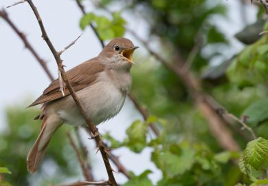 bird, nightingale