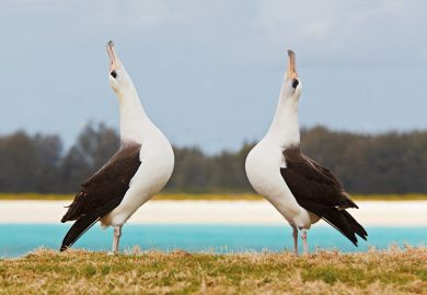 Pair of albatrosses