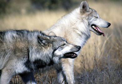 Pair of wolves walking among long grass
