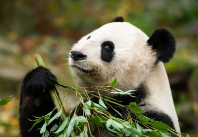 Panda eating bamboo, symbol of China
