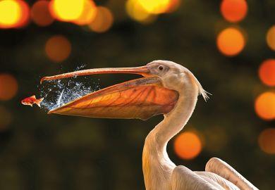 pelican goldfish