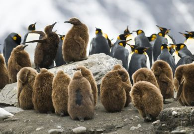 Juvenile penguins huddling