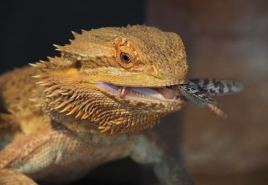 Pet bearded dragon, pogona vitticeps, in a terrarium, with a dark background, eating a desert locust