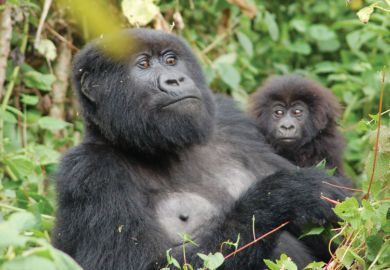 Resting mountain gorilla with infant