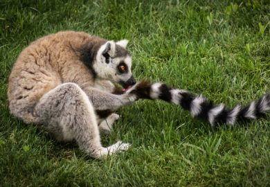 Ring-tailed lemur licking tail
