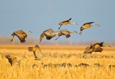 Sandhill cranes in flight above corn fields, Kearney, Nebraska