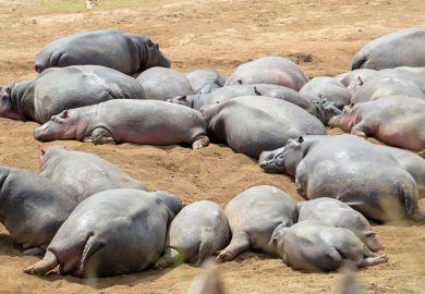 Idle hippos
