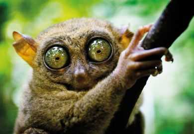 Tarsier has eyes that are larger than it's brain. Bohol island, Philippines