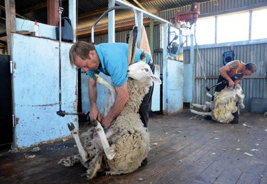 Sheep being sheared