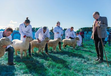Judge assessing sheep at country show