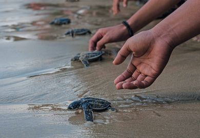 Releasing young turtles on beach