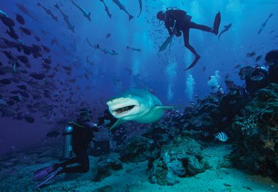 A large Lemon Shark gulps down a large tuna head in front of a crowd of divers, Fiji.