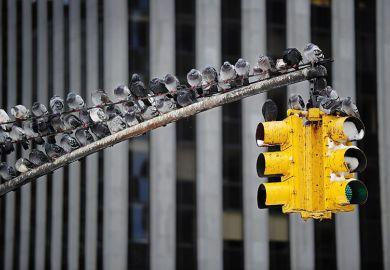 pigeons on traffic light