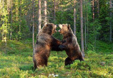 Two bears fighting