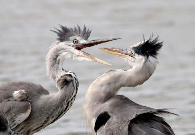 Two herons fighting