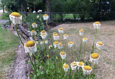 Wilting daisies