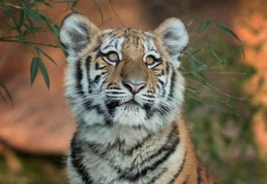A young tiger