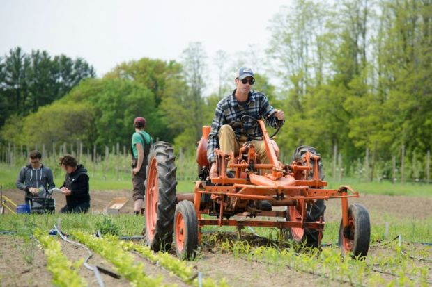 Evan Hoyt hoes corn with a tractor on a University of Vermont farm