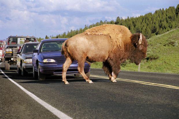 A buffalo obstructing traffic