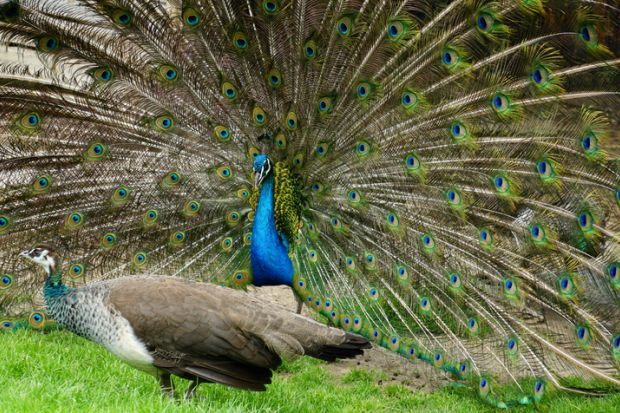 A pair of peafowl, a peahen in the foreground and the peacock displaying his train.