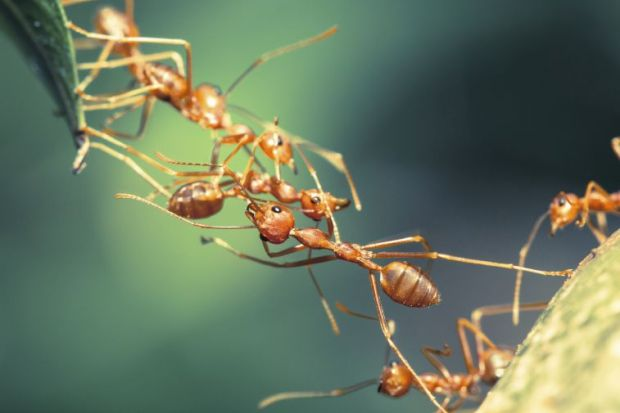 Ant collaboration