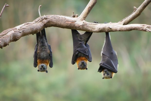 Three bats hanging upside down