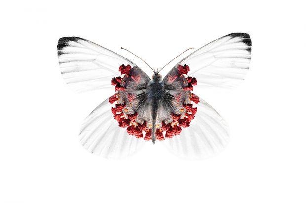 Corona butterfly