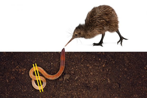 Kiwi bird digs up worm