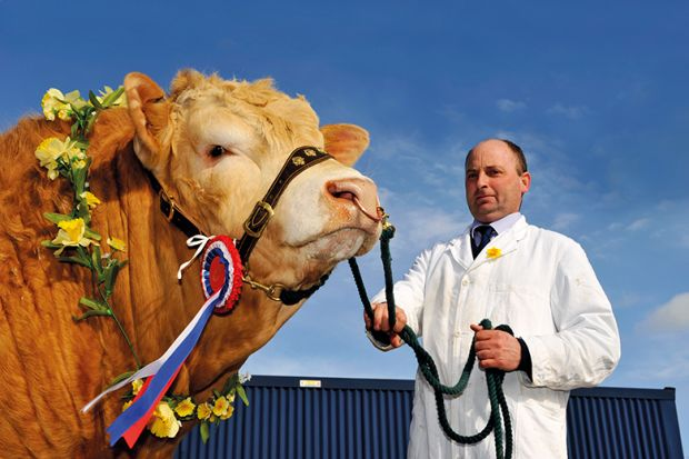 Blonde Aquataine champion bull with rosettes and garland of flowers at a sale in Cumbria