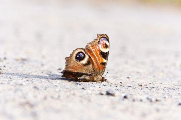 A dead butterfly