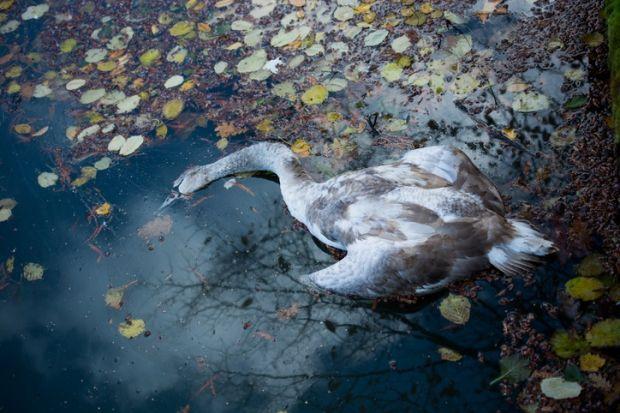 a dead swan