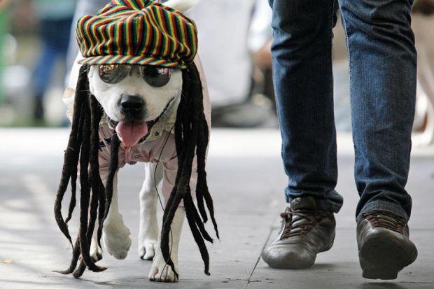 Dog dressed as rastafarian