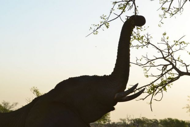 iStock_Elephant reaching for a branch