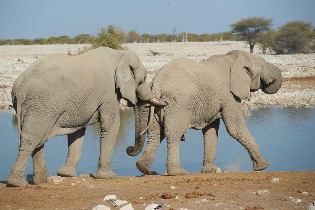 Elephants nudging