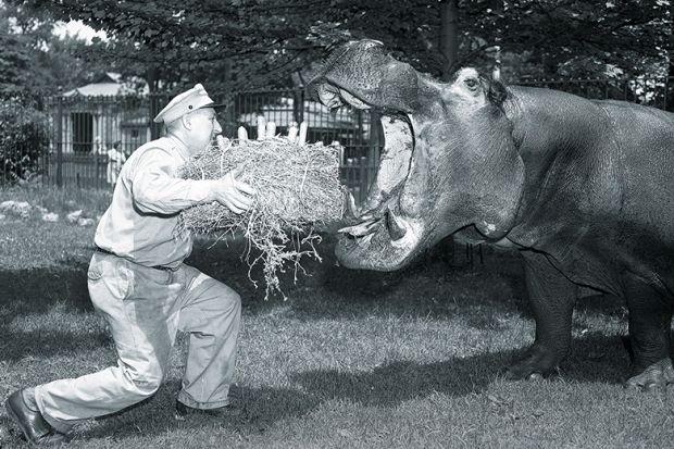 Feeding a hippo